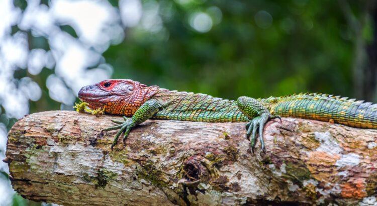 Rödhuvud Iguana