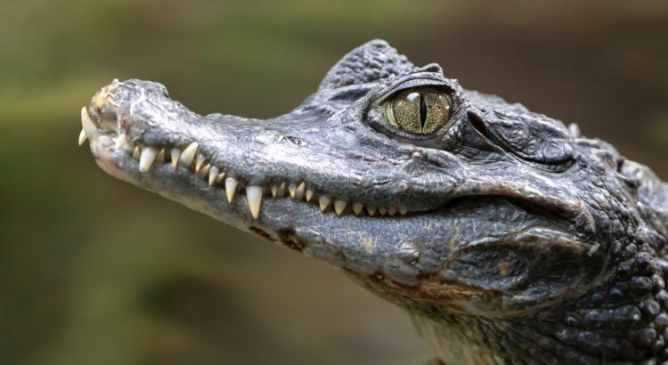 Spectacled caiman portrait